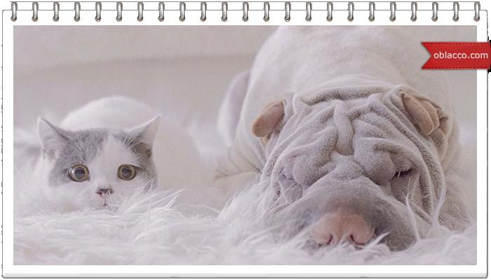 кот и шарпей