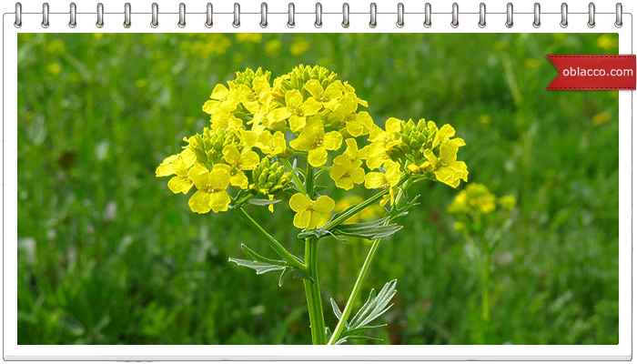 лекарственные травы для потенции Сысерть