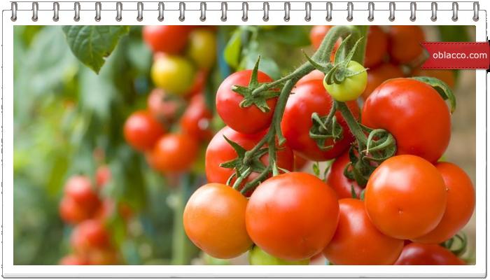Выращивание помидор из семян