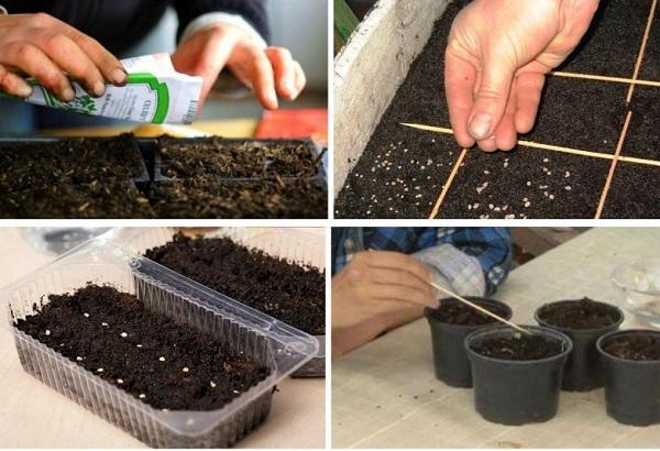 Выращивание помидор семенами в домашних условиях