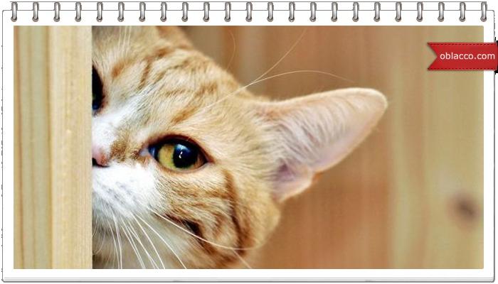 Самый страшный враг кота - огурец