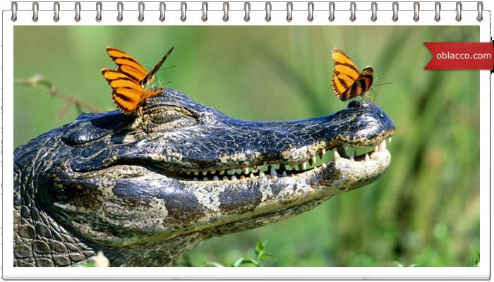 Крокодил на поле для гольфа