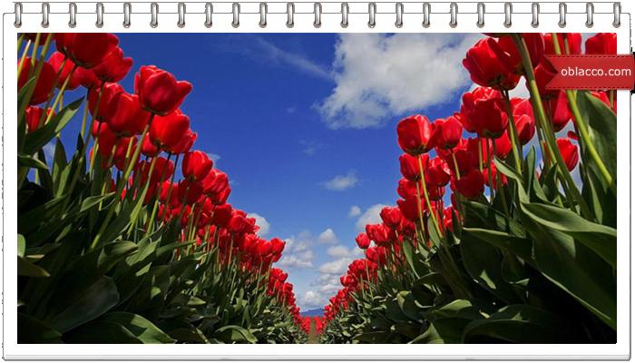 Доставка тюльпанов в Праге: идеальный подарок
