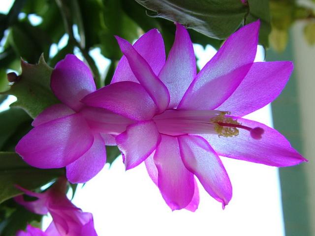 лиловый зигокактус