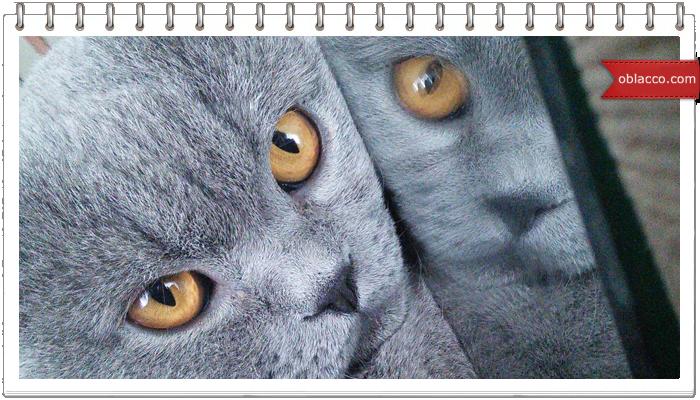 Самые распространенные окрасы Британских кошек