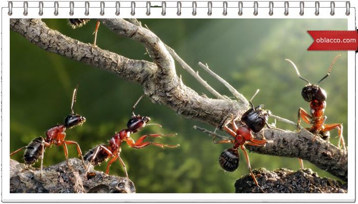 Как избавиться от муравьев натуральными средствами, и от крыс