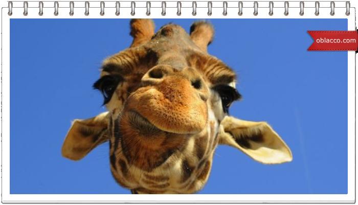 Жираф дает отпор львице