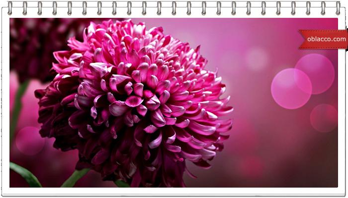Как сохранить хризантемы в вазе?