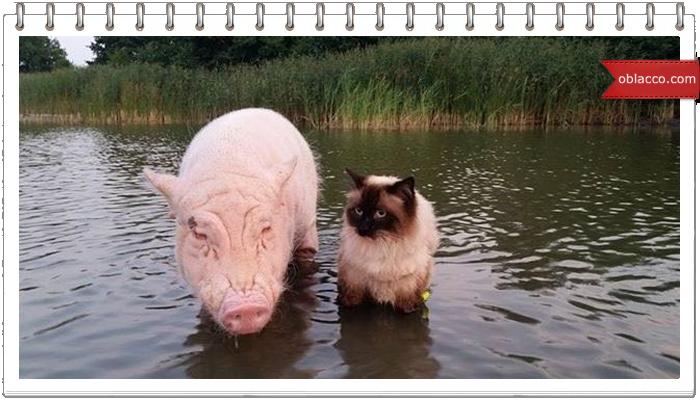 Свинья выгуливает кошку