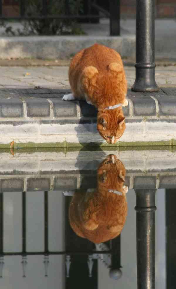 рыжий кот лужа