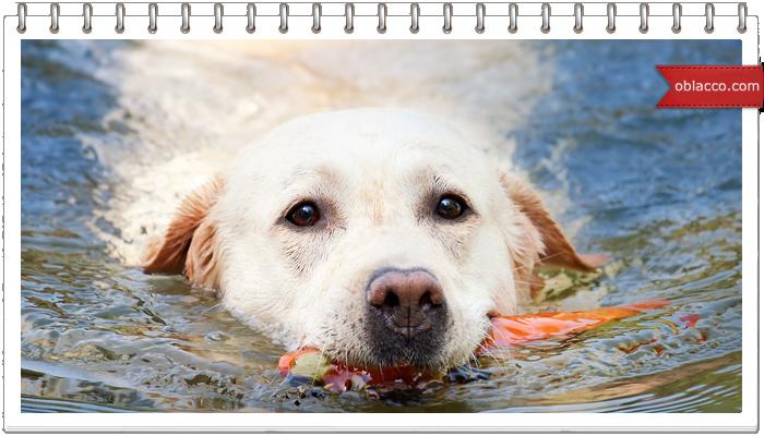 Собака плавает как человек