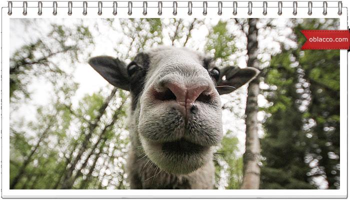 Веселая овца