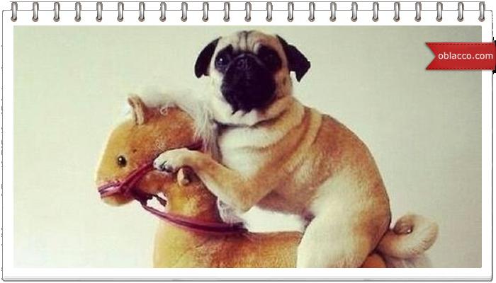 Пес катается на лошадке