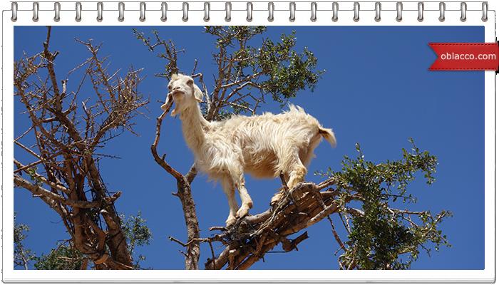 Коза на пальме