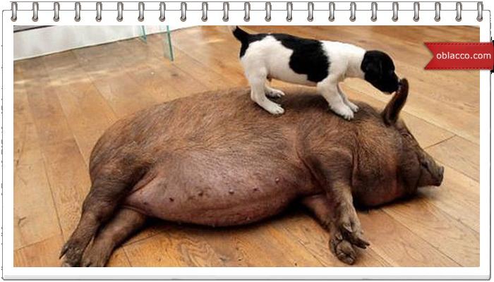 Вставай, свинья!