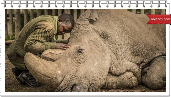 Северный белый носорог больше не существует