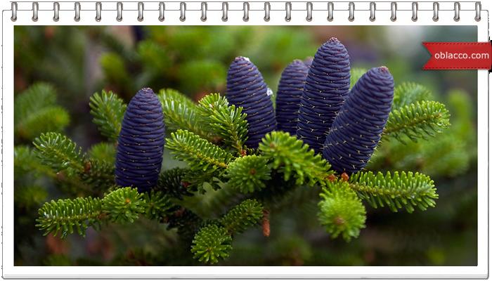 Синий цвет новогодних праздников, пихта в тренде