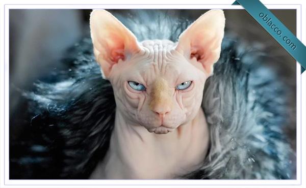 Необычная порода кошек – сфинкс
