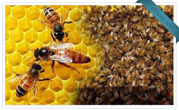 Подсадка пчелиных маток