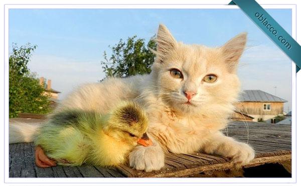 Котенок и утенок
